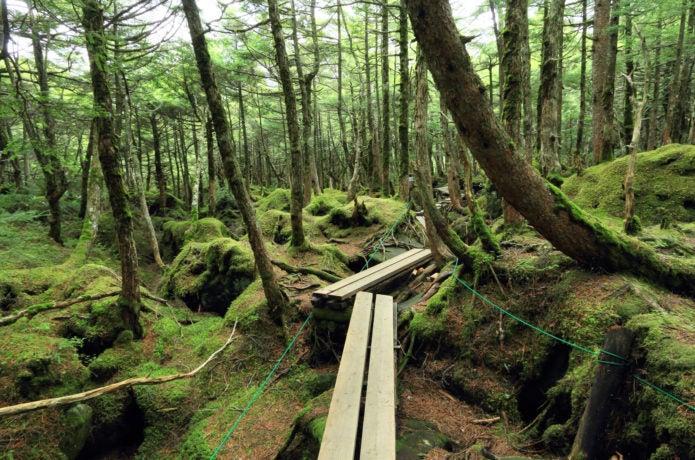 苔が見られる白駒池の遊歩道の画像