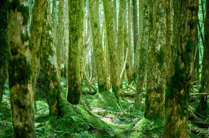 麦草峠からの登山コースで見られる苔の森の画像