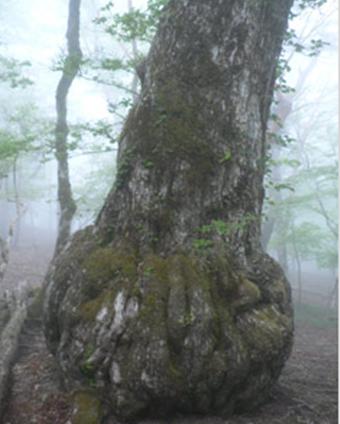 大台ケ原のミズナラの巨木の画像