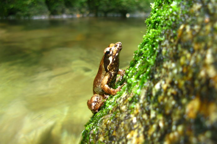 屋久島で見られるヤクシマタゴガエル