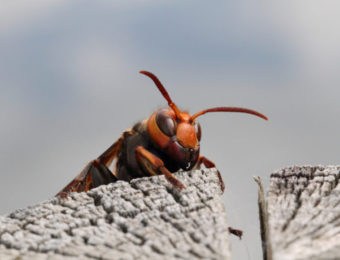 アナフィラキシーショックを引き起こす蜂