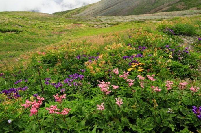 雪倉岳の高山植物