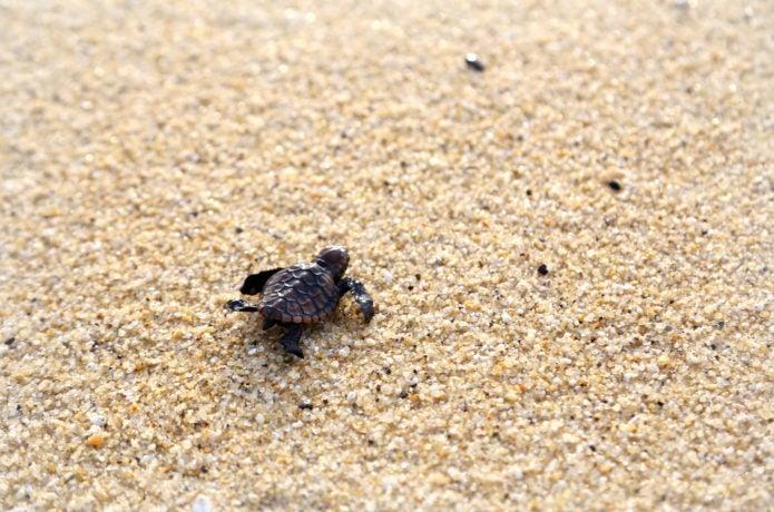 屋久島で見られるウミガメの赤ちゃん