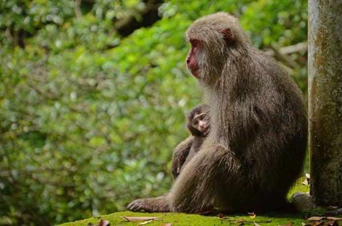 屋久島で見られるヤクシマザル