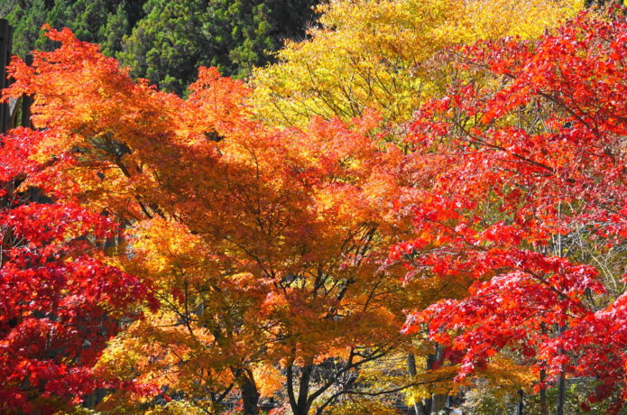 三頭山の紅葉