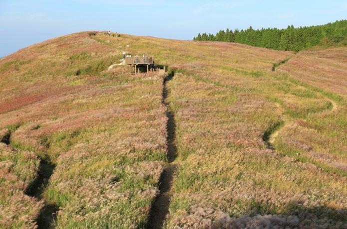 ススキの名所生石高原のススキ