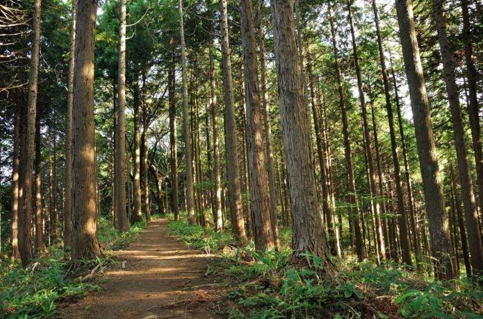 生藤山登山コース中の森林の画像
