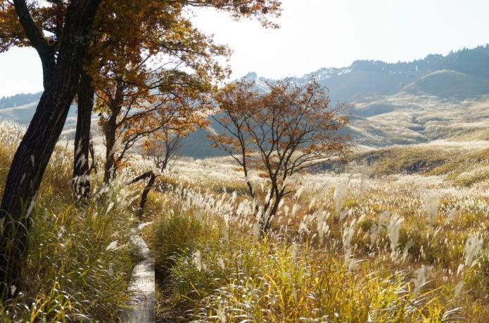 ススキの名所砥峰高原のススキ