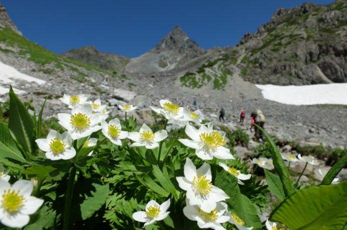 槍ヶ岳の高山植物(ハクサンイチゲ)