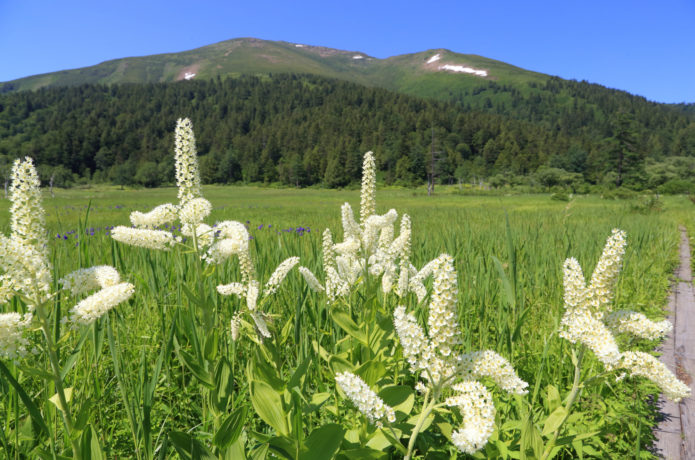 夏の至仏山と高山植物の画像