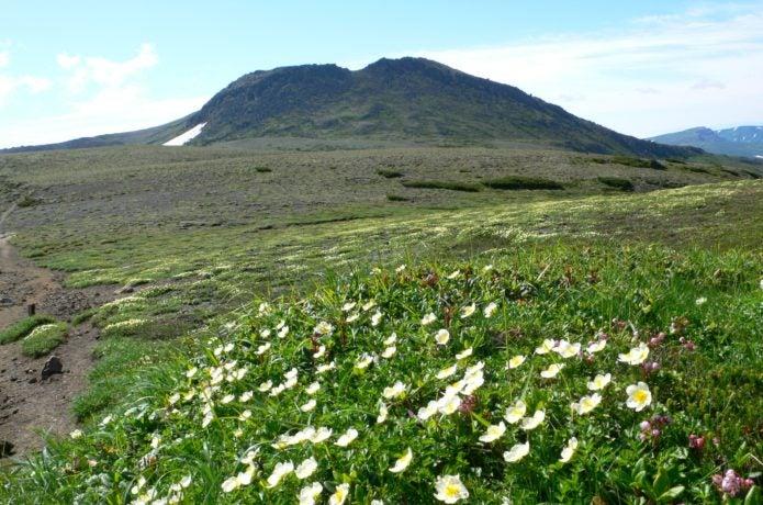白雲岳とチングルマ