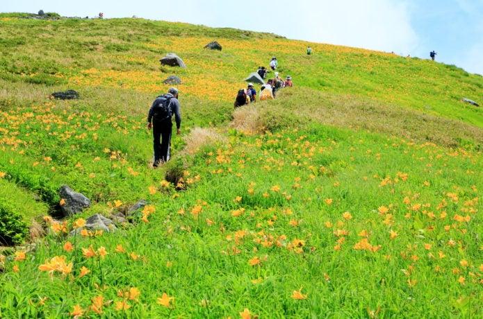鳥海山 高山植物の群生