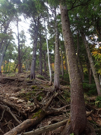 木の根が多い急登