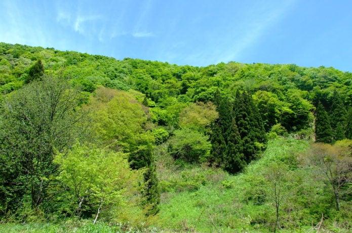 温水峠山麓の新緑